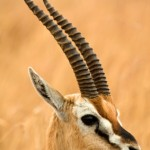 gazelle photo real life