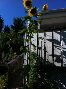 nine foot sunflowers