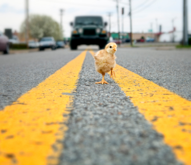 chick in road photo