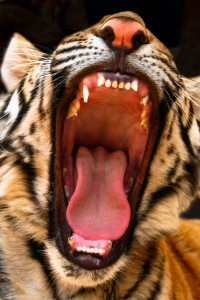 Tiger roaring photo