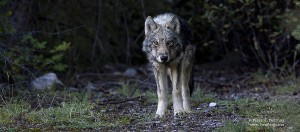 grey wolf photo landscape