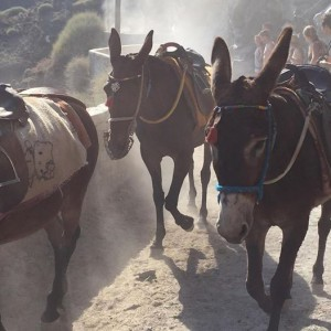 Donkeys in dust on Santorini