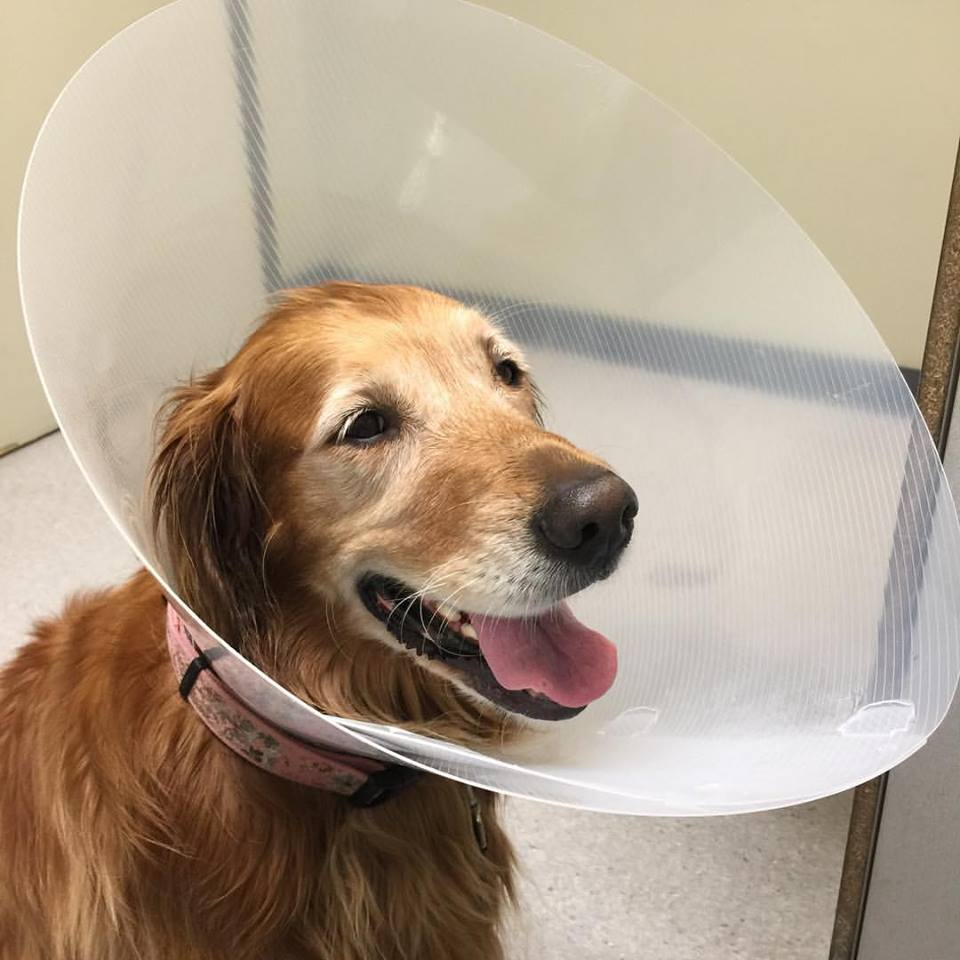 Sadie in cone of shame smiling