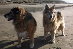 Sable and Soda on beach in wind