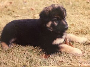 Sable as a puppy on grass
