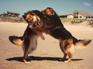 Young Sable and Soda horsing around on beach in Oregon