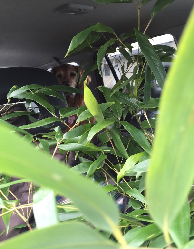 Sadie with bamboo in back of car