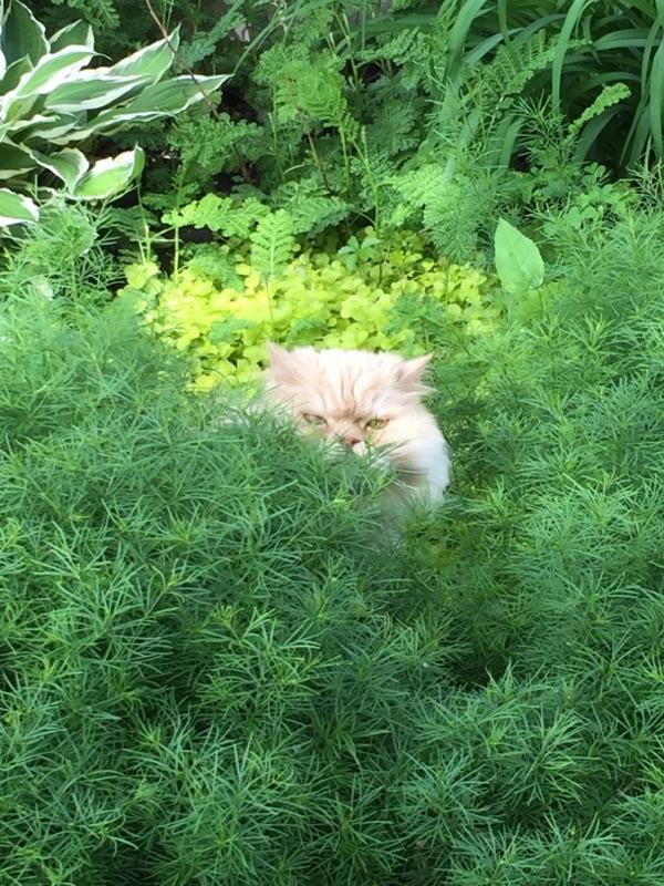 Zebu in the bushes