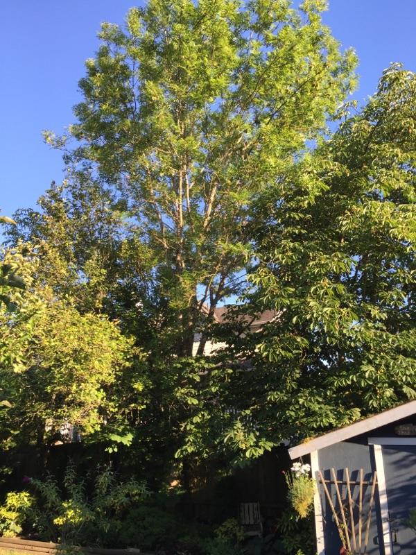 big trees back garden