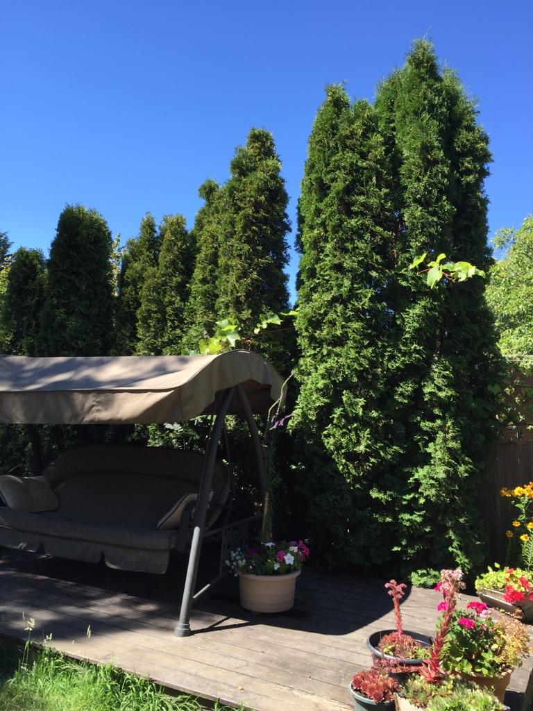 cedar bushes backyard
